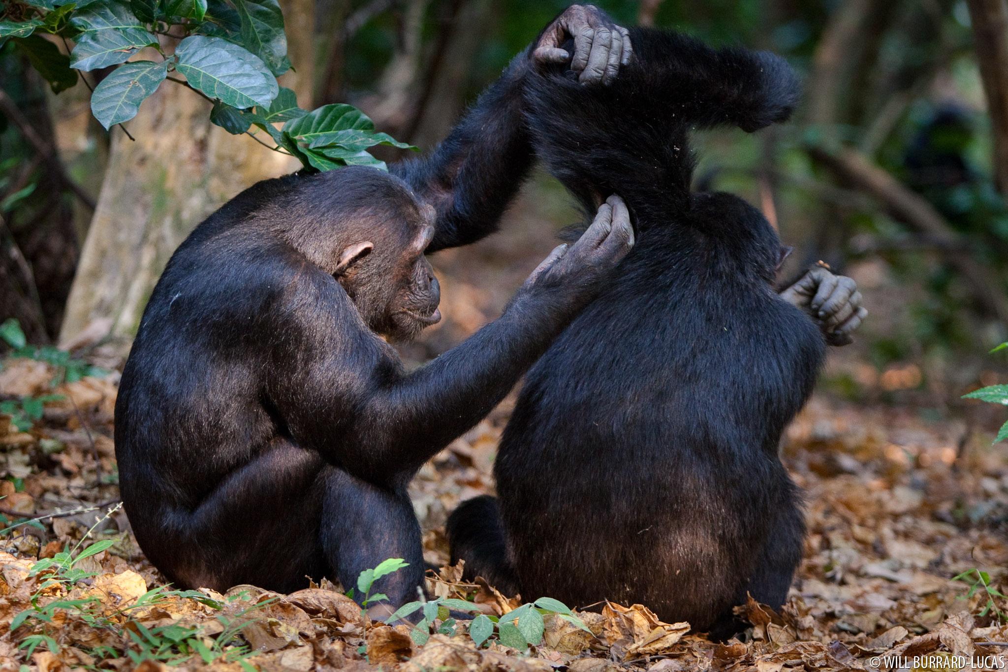 Mating chimpanzees in Mahale Tanzania - YouTube