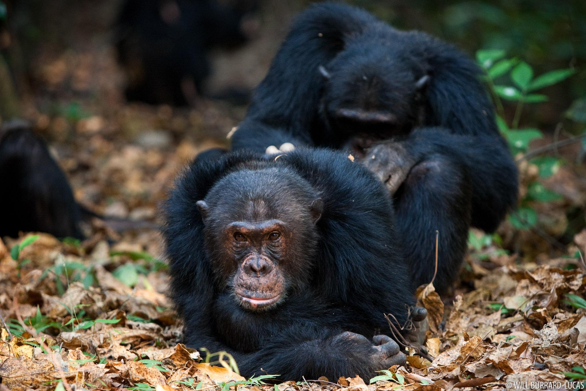 Mahale Chimps | Will Burrard-Lucas