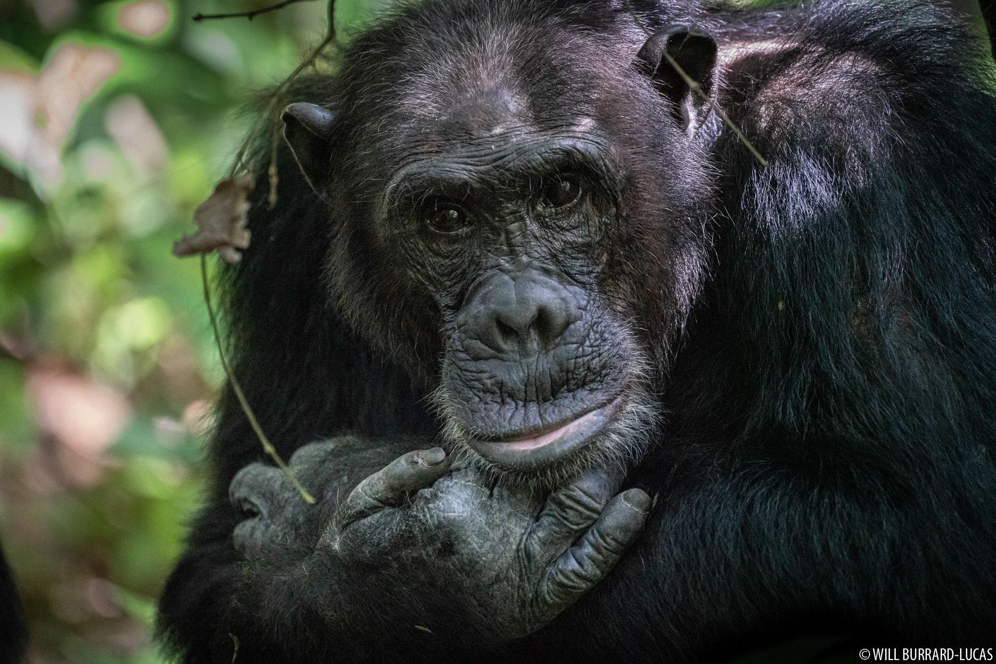 Chimp Trekking In Tanzania Package | Paradise of